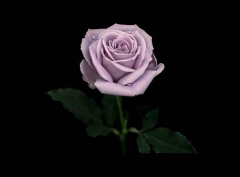 花をプレゼントするには最高かも!サントリーのブルーローズ(青いバラ)アプローズを買ってみた。